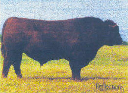 Red Flying K Dynamo 6Y foundation herd sires