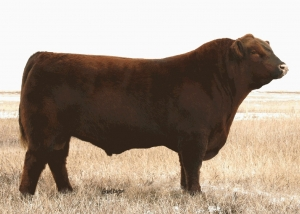Grand Kapton foundation herd sires