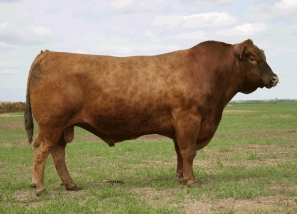 red jcc warrior 5k foundation herd sires